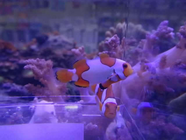 121024 海水魚・サンゴ・水草・金魚_f0189122_12513624.jpg