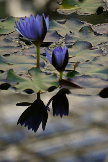 Water Lilies_a0257652_22274394.jpg