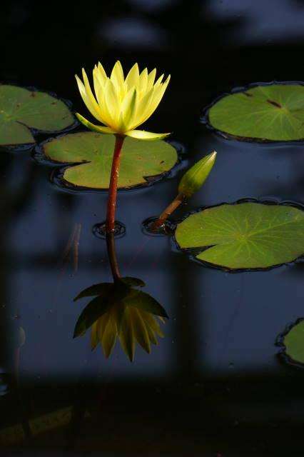 Water Lilies_a0257652_22274476.jpg