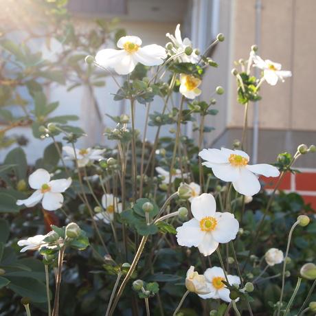 秋明菊とワレモコウとコルチカム_a0292194_235713.jpg