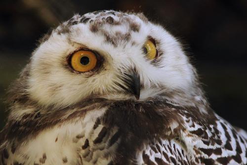 シロフクロウ:Snowy Owl_b0249597_53922.jpg
