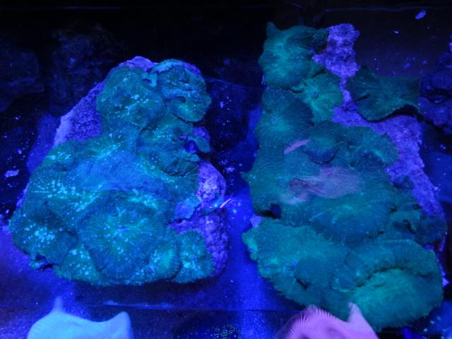 121024 海水魚・サンゴ・水草・金魚_f0189122_1313531.jpg