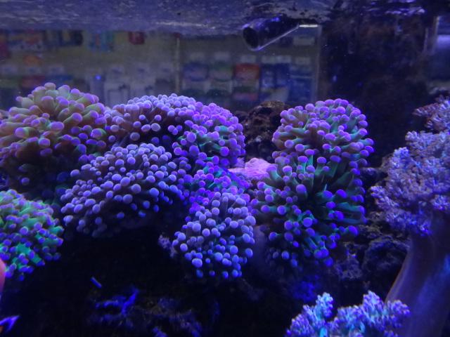 121024 海水魚・サンゴ・水草・金魚_f0189122_1315167.jpg