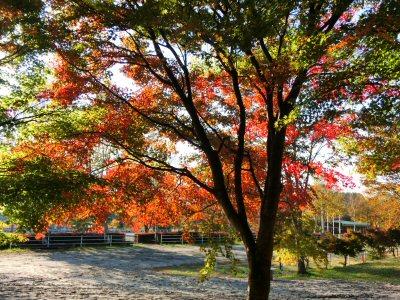 ツタウルシの紅葉がきれいです_f0019247_17271648.jpg