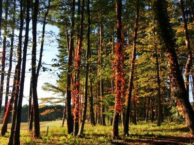 ツタウルシの紅葉がきれいです_f0019247_17302992.jpg
