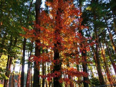 ツタウルシの紅葉がきれいです_f0019247_17311942.jpg