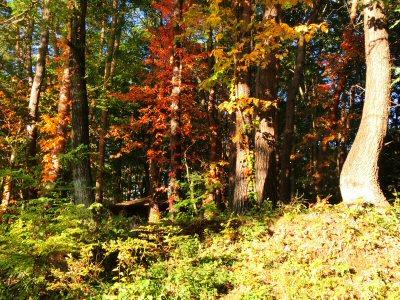 ツタウルシの紅葉がきれいです_f0019247_1734168.jpg