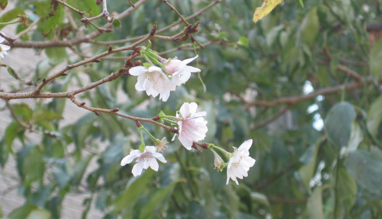10月桜が_b0115553_1649393.jpg