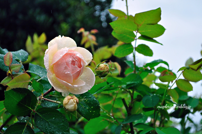大神ファーム/秋バラと雨_f0234062_22462735.jpg