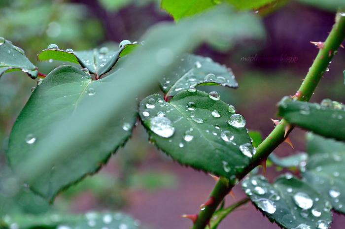 大神ファーム/秋バラと雨_f0234062_22462971.jpg