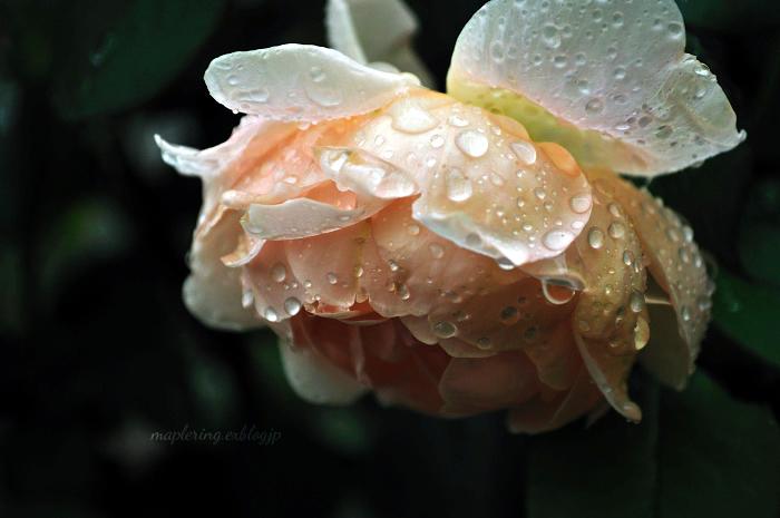 大神ファーム/秋バラと雨_f0234062_22464925.jpg