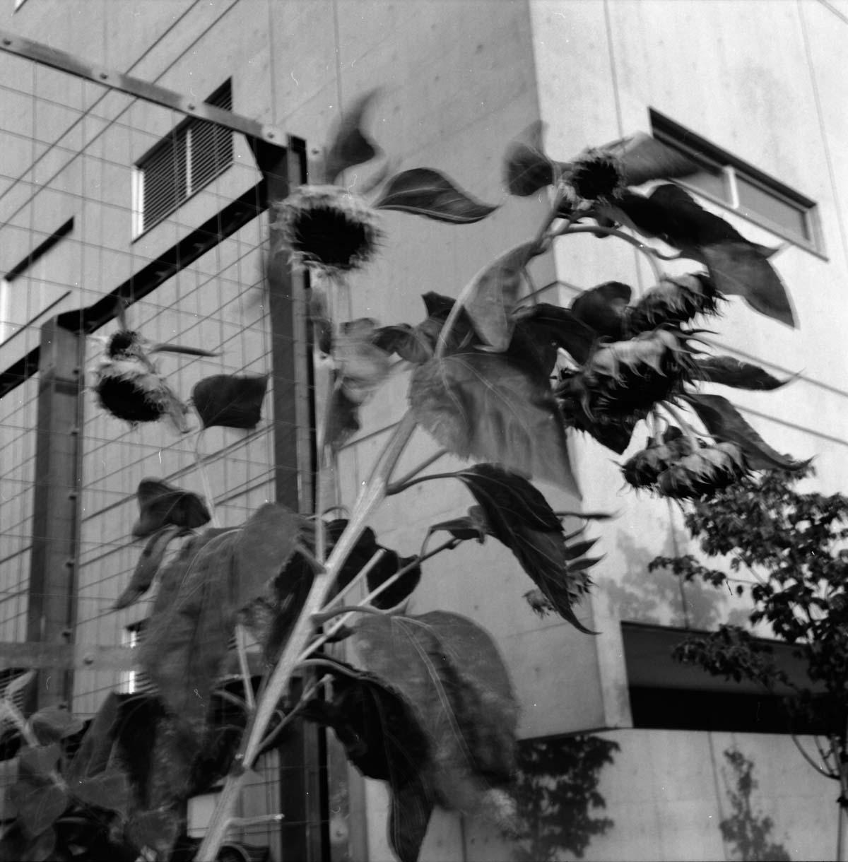 サッポロCLASSIC  2012富良野VINTAGE_a0271402_8181693.jpg