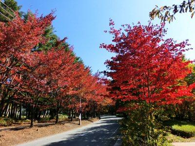 馬術競技場通りの紅葉が見頃です_f0019247_17142267.jpg