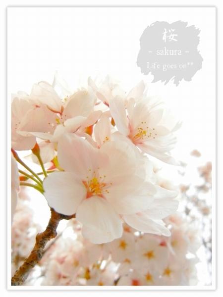 Oo。。 桜2012 2 。。oO_b0155684_16181510.jpg