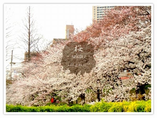 Oo。。 桜2012 2 。。oO_b0155684_16181872.jpg