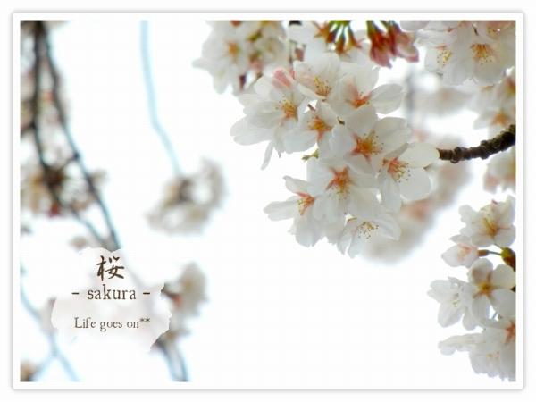 Oo。。 桜2012 2 。。oO_b0155684_16182135.jpg