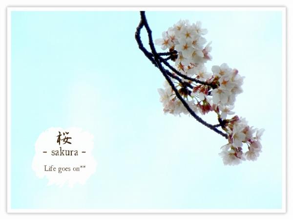 Oo。。 桜2012 2 。。oO_b0155684_16182764.jpg