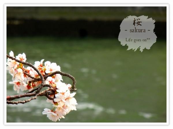 Oo。。 桜2012 2 。。oO_b0155684_16184229.jpg