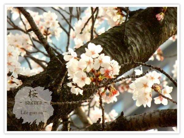 Oo。。 桜2012 2 。。oO_b0155684_16185928.jpg