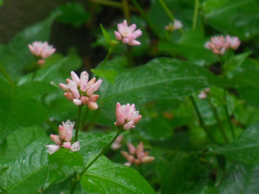 そばに、咲く みぞそばの花_f0146802_18185185.jpg