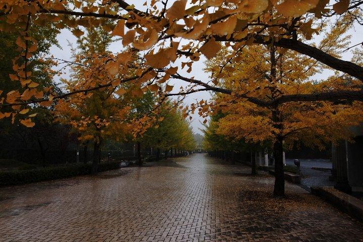 雨あがりのイチョウ並木_a0268412_22534845.jpg