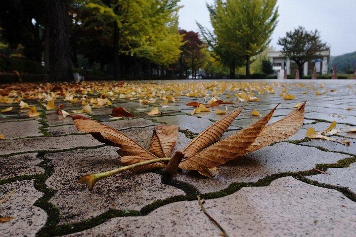 雨あがりのイチョウ並木_a0268412_22535210.jpg