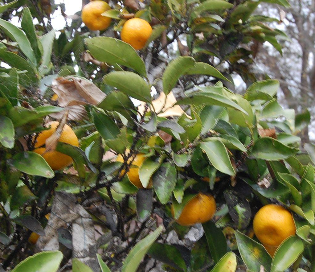 平安神宮 左近の桜、右近の橘_a0237937_6103989.jpg