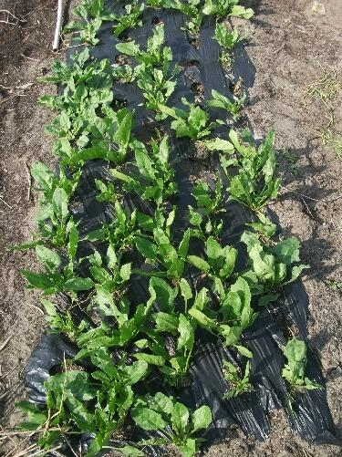 ほうれん草、収穫と植え付けと種蒔き _f0018078_18262746.jpg