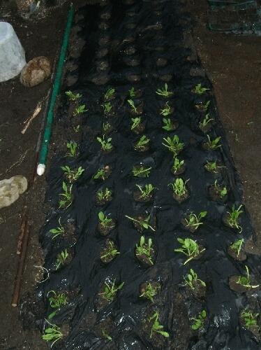ほうれん草、収穫と植え付けと種蒔き _f0018078_18265623.jpg
