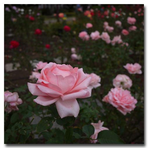 #2532 秋の薔薇_e0175405_7554764.jpg