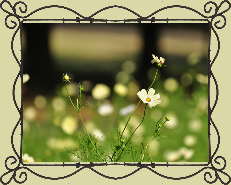 昭和記念公園のコスモス②_c0001744_140234.jpg