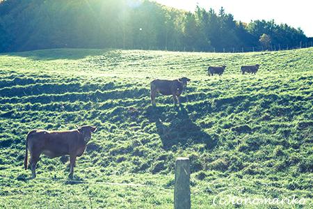 こげ茶色の牛さんたち_c0024345_6452813.jpg