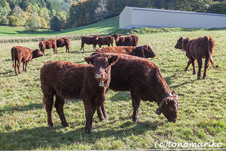こげ茶色の牛さんたち_c0024345_647441.jpg