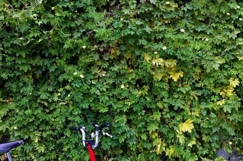 グリーンカーテンとブロンプトン_e0053660_2215411.jpg