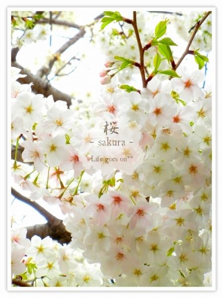 Oo。。 桜2012 4 。。oO_b0155684_226029.jpg