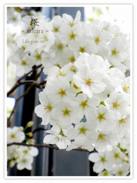 Oo。。 桜2012 4 。。oO_b0155684_226376.jpg