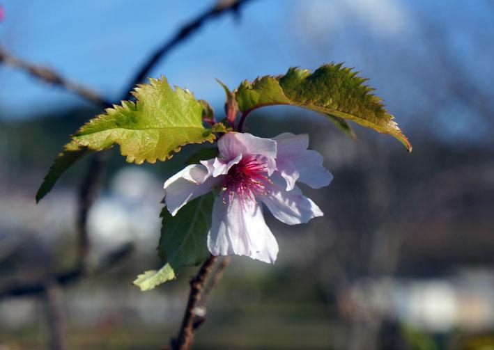 ヒカンザクラがよく咲いています。_b0145296_105599.jpg