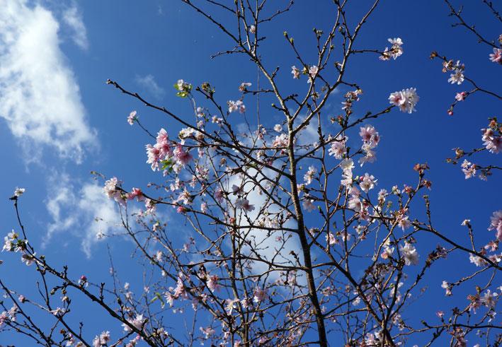 ヒカンザクラがよく咲いています。_b0145296_1061552.jpg