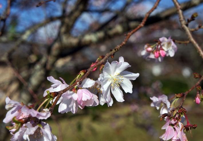 ヒカンザクラがよく咲いています。_b0145296_1062867.jpg