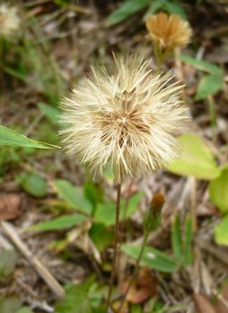 青麻山で見た植物_b0189727_13383448.jpg