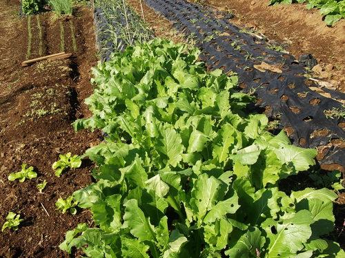 採りたて野菜は、美味しいですよ!_b0137932_22491270.jpg