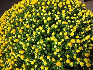 回廊に菊を設置しました。_c0141652_10534838.jpg