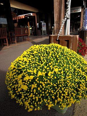 回廊に菊を設置しました。_c0141652_10534885.jpg
