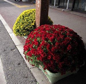 回廊に菊を設置しました。_c0141652_10545775.jpg