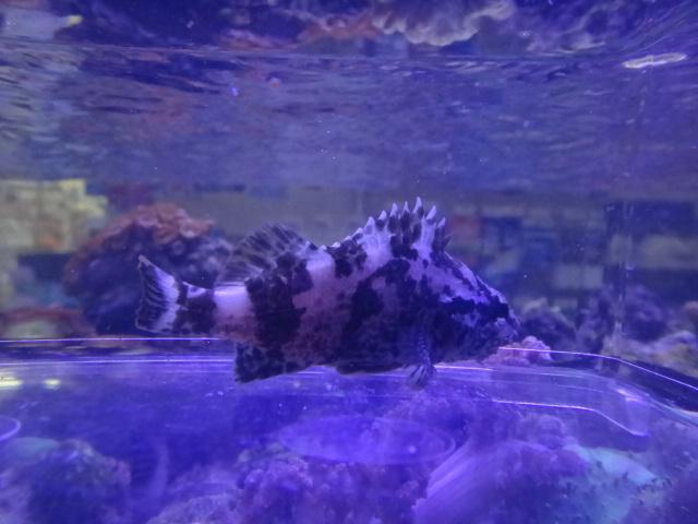 121031 海水魚・サンゴ・水草・金魚_f0189122_1303517.jpg