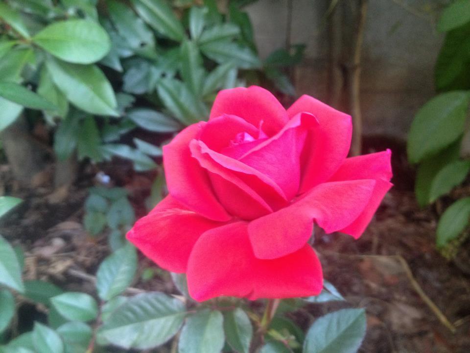 蘭香茶館のバラを咲きました_f0070743_1713213.jpg