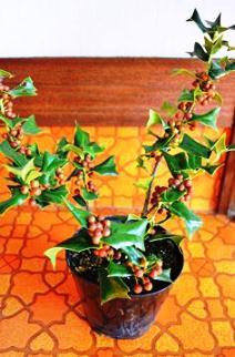 植物新入り 11・1_d0263815_15351137.jpg