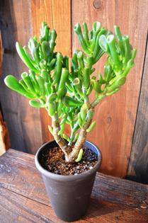 植物新入り 11・1_d0263815_15384026.jpg