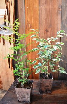 植物新入り 11・1_d0263815_1546428.jpg