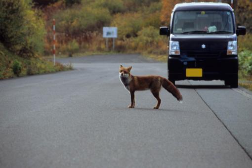 八幡平松尾鉱山跡地・2012.10.24~キツネ~_b0259218_5152136.jpg